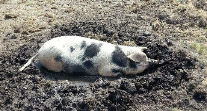 Varken op zijn gat in modder